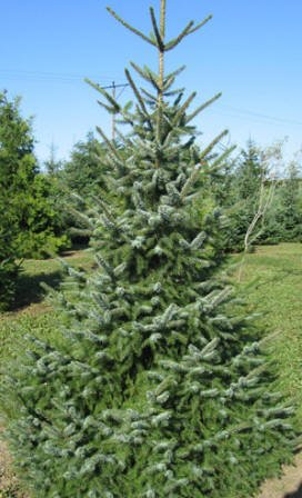 balsam fir christmas tree abies balsamea - Type Of Christmas Trees