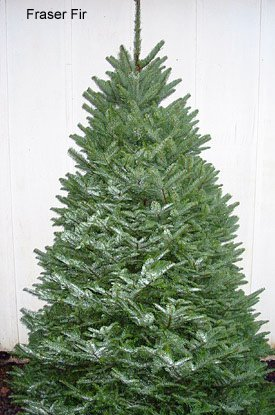Good Fraser Fir Christmas Tree, (Abies Fraseri) Good Ideas