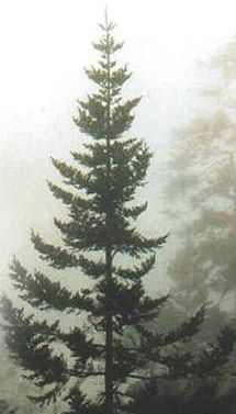 Sparse Christmas Tree Types.Types And Names Of Live Christmas Trees
