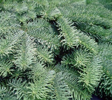 Noble Fir Branches close up view