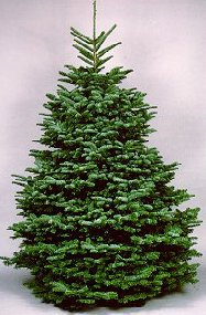 Noble Fir Christmas Tree, (Abies procera)