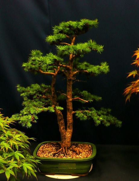 Fir Tree Names And Types Of The Abies Species