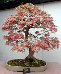 Bonsai Tree Informal Upright Style (moyogi) Maple