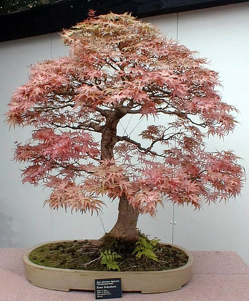 Picture Of A Japanese Maple Bonsai Tree Acer Palmatum