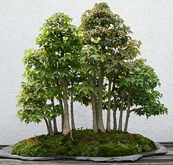 Maple Bonsai Tree Summer