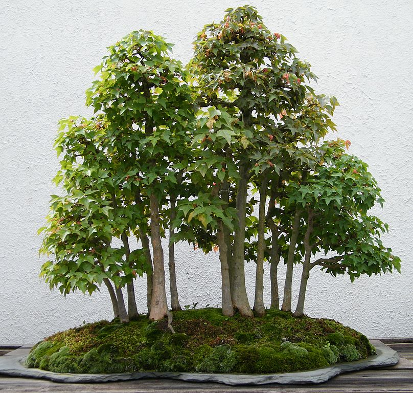 Bonsai Tree Names with Pictures