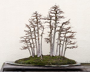 Maple Bonsai Tree Winter