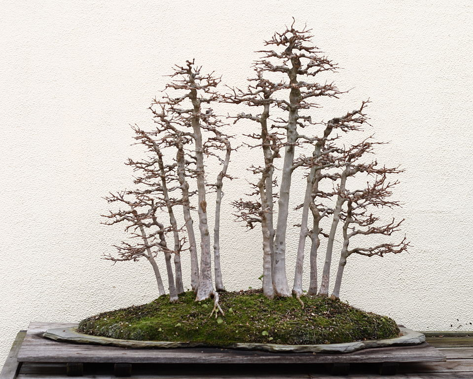 Picture of a Trident Maple Bonsai Tree in Winter