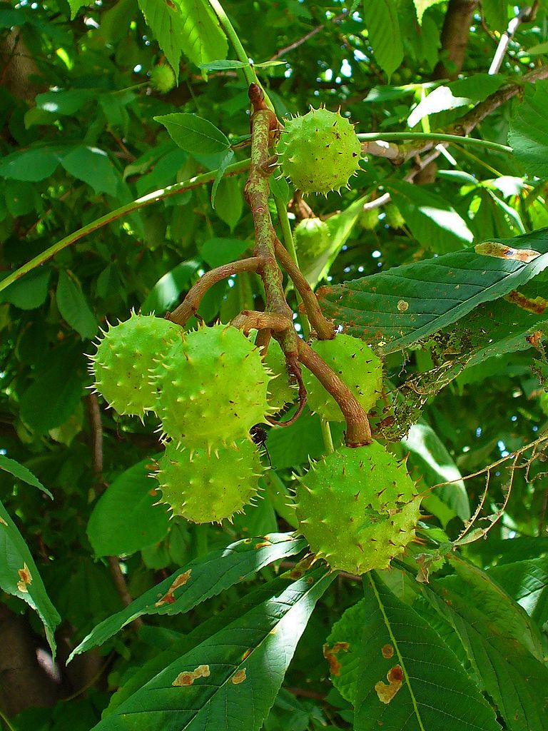 Aesculus_hippocastanum_Buckeye_Horse_Chestnut_seeds768 Map India And Stan on stockholm sweden map, zermatt map, swiss alps map, basel map, verbier map, wald map, dissolution soviet union map, hanover map, lugano map, gstaad map, strasbourg map,