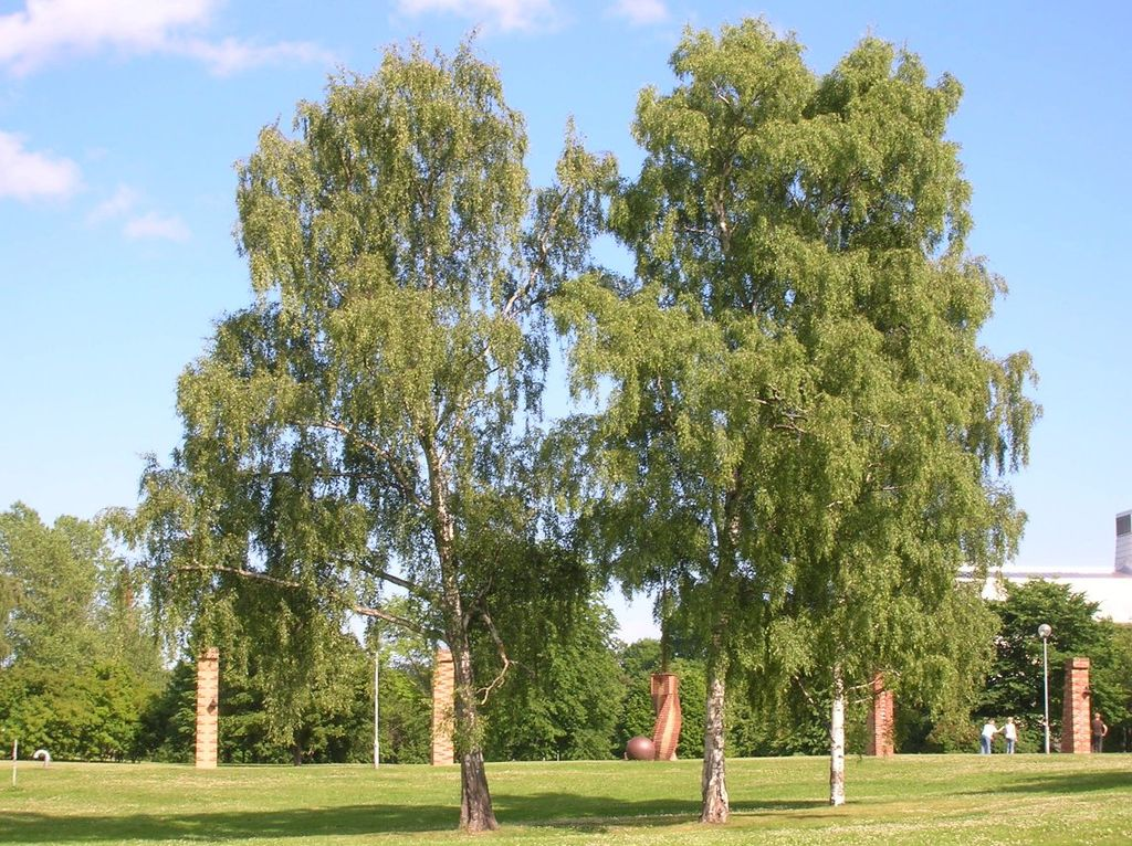 lovely types of birch trees Part - 1: lovely types of birch trees good ideas
