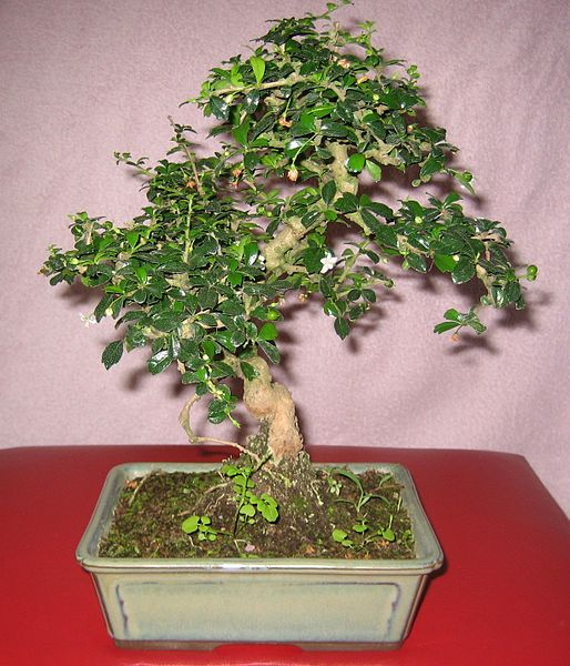 List Of Indoor Bonsai Tree Names And Pictures