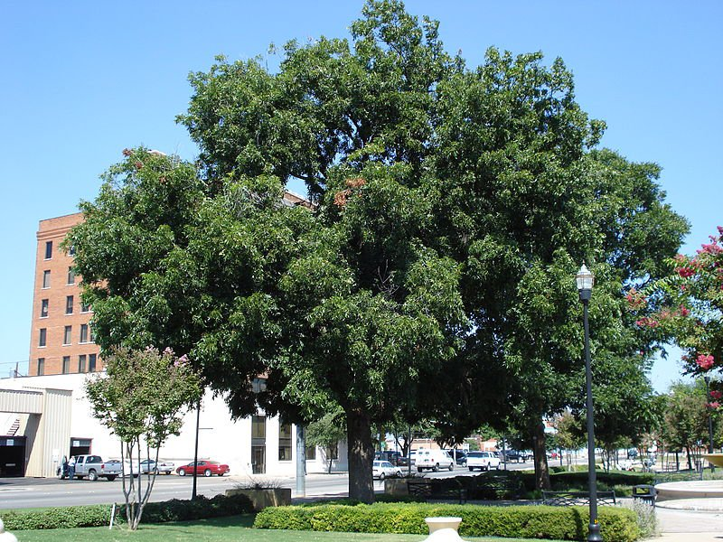 Hickory Tree Names Pictures And Types Of Carya Species