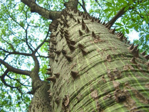 Picture of a sabre tree paineira trunk ceiba speciosa