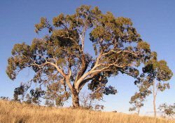 Types And Their Names Eucalyptus Tree