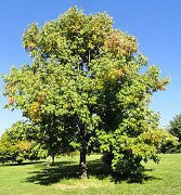 Tree Names, List of Common and Botanical Types of Trees with Pictures