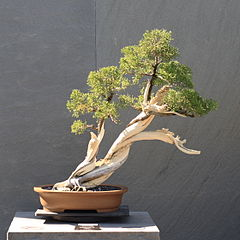 Bonsai Tree Slant Style (shakan) Juniper