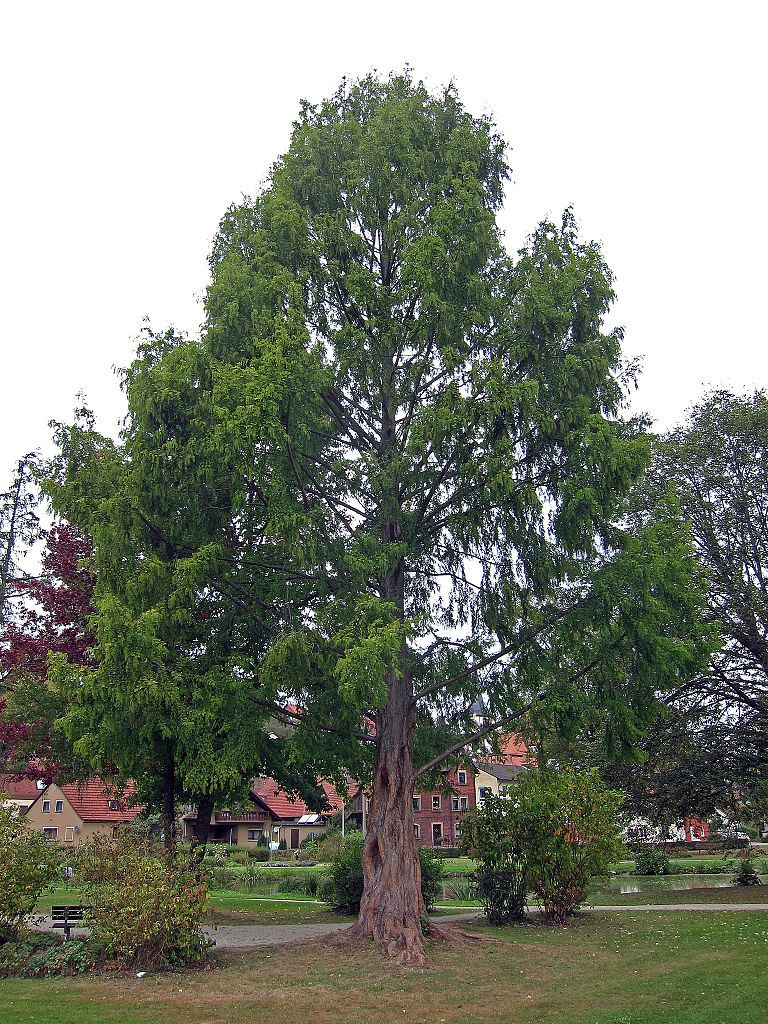 Dawn Redwood Tree Picture (Metasequoia glyptostroboides)