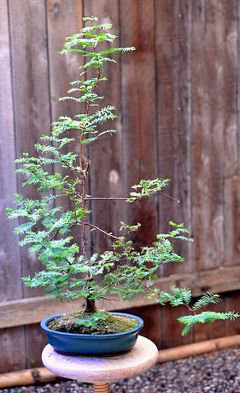 Metasequoia Bonsai Tree