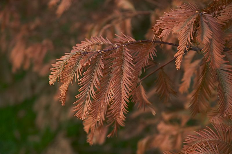 Picture Of Dawn Redwood Tree Leaves Turning Brown In Autumn