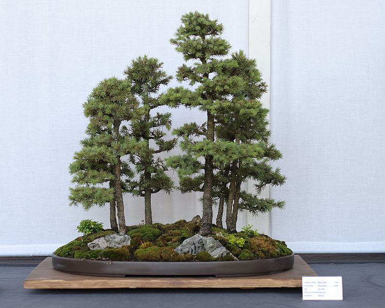 Picture Of Black Hills Spruce Bonsai Trees - Black hills spruce bonsai trees