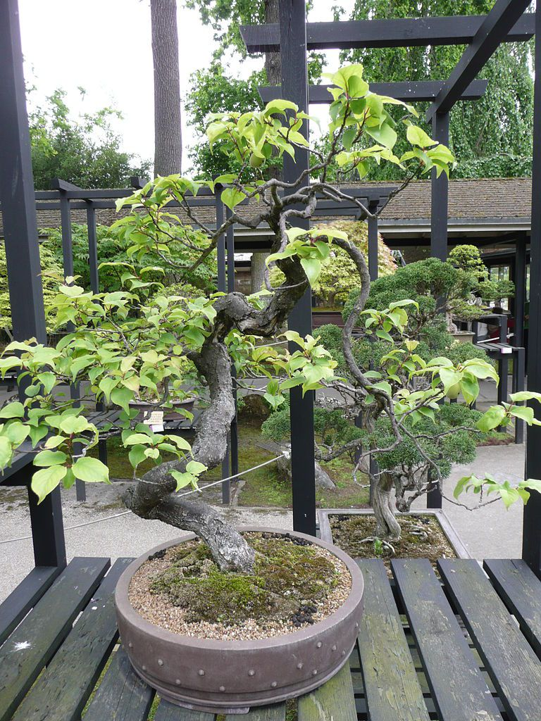 Picture Of A Bonsai Chinese Plum Japanese Apricot Tree