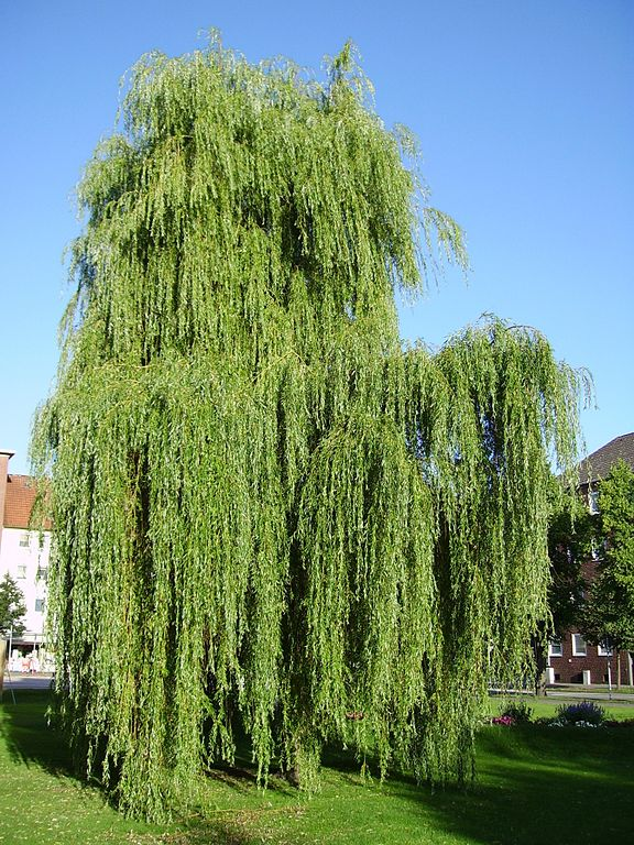 Willow Tree Meaning In Hindi Image Home Garden And Tree Rtecx