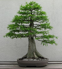 Bonsai Tree Formal Upright Style (chokkan) Bald Cypress